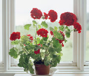Thumb_1485270236-hbu-stress-plants-geraniums