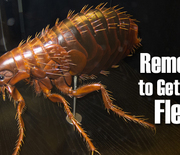 Thumb_remedies-to-get-rid-of-fleas