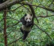 Thumb_wolong-panda_95292_990x742