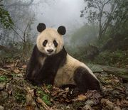 Thumb_wolong-panda-mother_95379_990x742